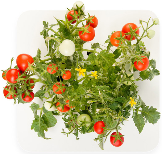 Click and Grow Starterset Cherry Tomaten