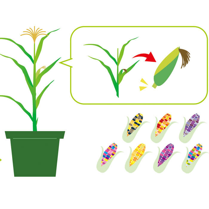 Rainbow Corn Growing Kit