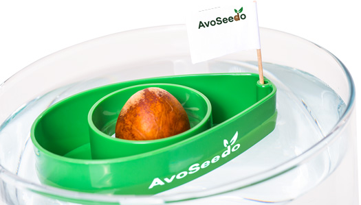 AvoSeedo - Grow your own Avocado Tree Evergreen